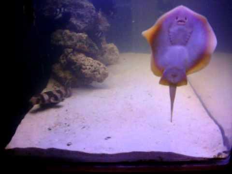 Pet california stingray in my 120gl salt water fish and for Stingray fish tank