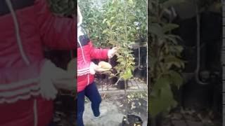Груша Талгарська красуня(, 2016-10-15T15:45:40.000Z)