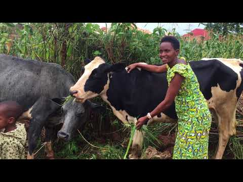 Murindi cows Jan2018;
