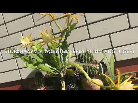 Эпифиллум угловатый (Epiphyllum anguliger)