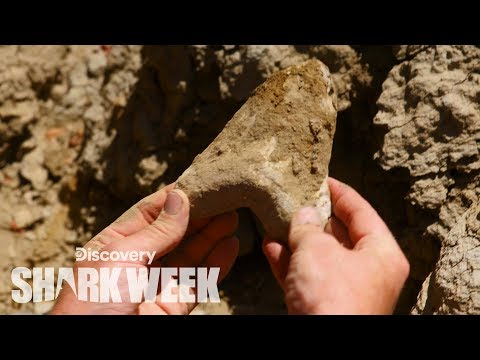 Megalodon Tooth Found In The Desert | Shark Week