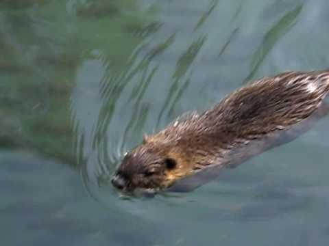 Amazing animals - really cute swimming otter