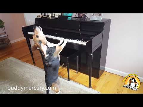 Buddy Mercury is the INCREDIBLE Singing Piano Dog!!! - AMAZING Compilation