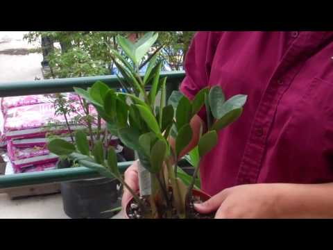 The Plant Shed Show #3- Mansfield Indoor Tropicals