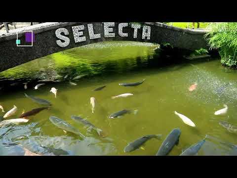 kolam-koi-wisata-selecta-batu-malang-koi-pond