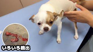 子犬チワワの避妊手術、初めてのお泊り〜帰宅後に見せた変な行動【閲覧注意】