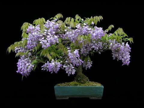 Jacaranda Mimosifolia Bonsai Tree Youtube