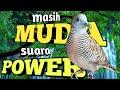 Perkutut Belajar Bunyi Tapi Suara Power Cobain Aja  Mp3 - Mp4 Download