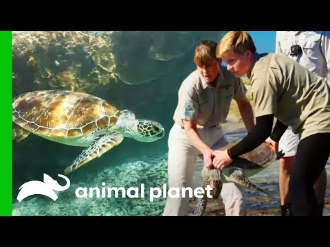 Releasing Sea Turtles On The Great Barrier Reef | Crikey! It's The Irwins