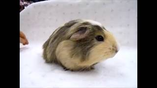3月18日生まれのクレステッドモルモットです。 毛が長めなのでコロネッ...