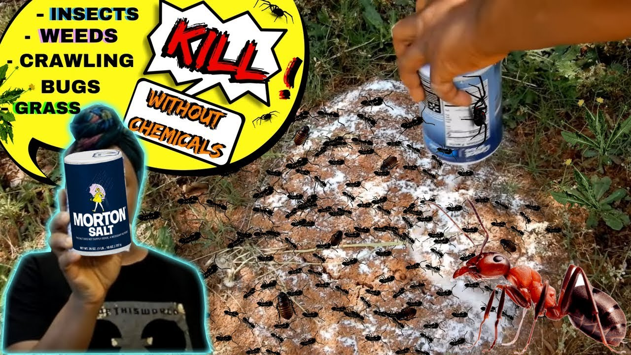 HOW-TO     FOOD SALT KILLS ANTS, CRAWLING BUGS, WEED, GRASS    NO CHEMICALS  !!!