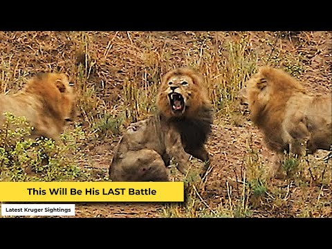 Final Battle of the Lion King in Kruger National Park