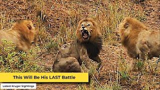 Epic Final Battle of the Lion King in Kruger Park