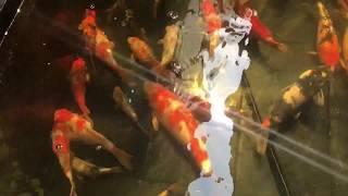 魚世界 FishWorld[個人分享] 錦鯉魚池欣賞 Koi fish pond