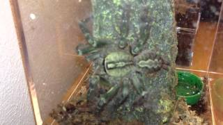 Poecilotheria ornata (Fringed ornamental) 2 crickets