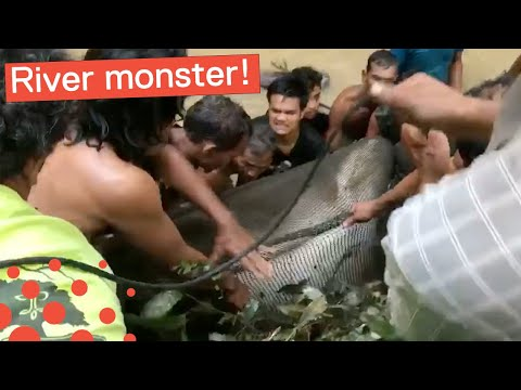 MONSTER CATFISH RESCUED FROM RIVER IN THAILAND
