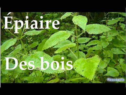 Plante piaire des bois plante sauvage et comestible youtube - Jonquille sauvage des bois ...