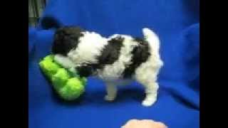 Toy Poodle Akc, Stunning Black And White Markings.