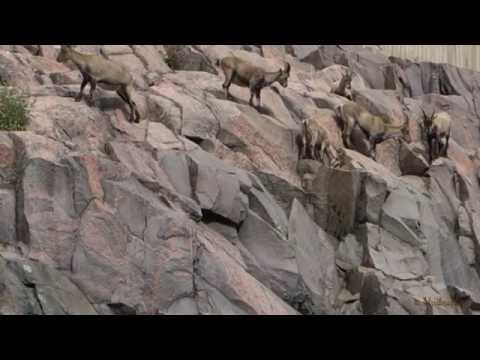 Helsinki Zoo Korkeasaari, Alpine ibex - Alppivuohet