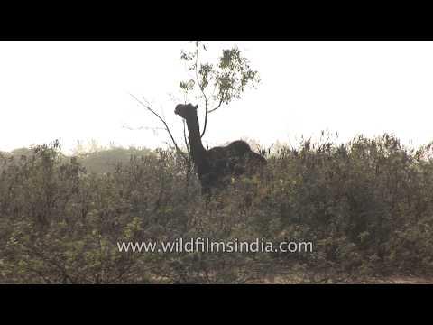 Camel munching leaves from a tree on the desert land - Rann of Kutch, Gujarat
