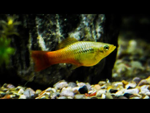 Breeding Platy Fish - How To Breed Platys Fast