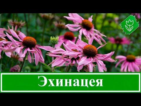 видео: Цветок эхинацея – посадка и уход в открытом грунте, виды и сорта эхинацеи, свойства