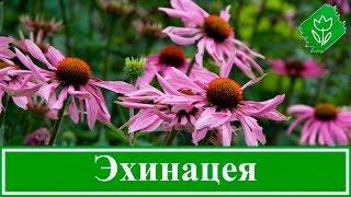 Цветок эхинацея – посадка и уход в открытом грунте, виды и сорта эхинацеи, свойства