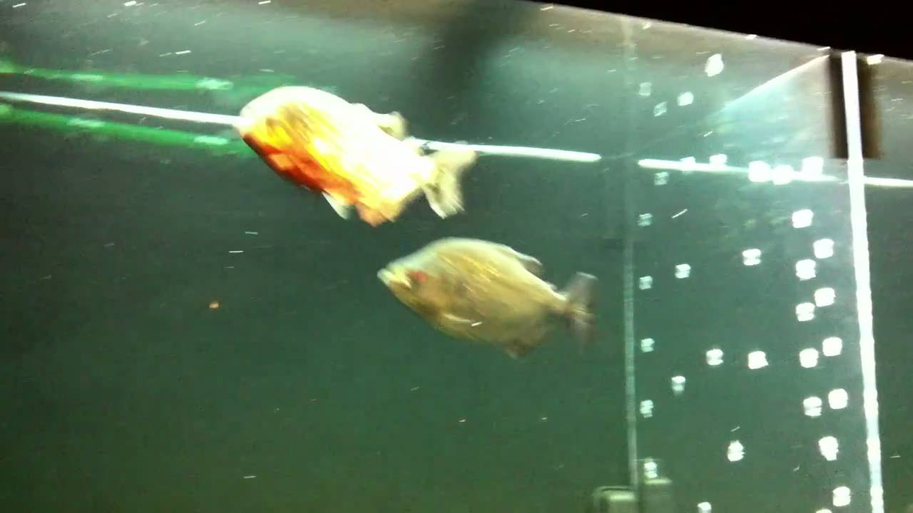White Piranha (Serrasalmus rhombeus) amidst floating plants ...