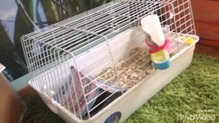 Как ухаживать за морской свинкой/чем кормить?(, 2016-03-26T06:24:14.000Z)