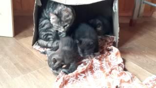 Серо-голубой котик 1,5 мес  защищает мышку!