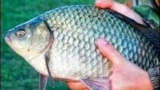 Крупный карась Редкие КАДРЫ самый большой карась(Крупный карась Редкие КАДРЫ Рыбалка на крупного карася Крупный карась весной Поклевка крупной рыбы или..., 2016-06-14T17:48:23.000Z)