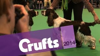 English Springer Spaniel | Best Of Breed | Crufts 2014