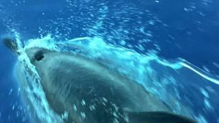 Dolphins Swimming - La Parguera P.R.  HD 1080p