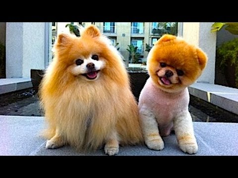 baby pomeranian dog cute baby pomeranian cutest puppies in the world youtube 7850