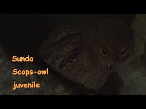 Sunda Scops-owl 夜のオオコノハズク幼鳥 信越の山 7月下旬 野鳥4K 空屋根FILMS#1110