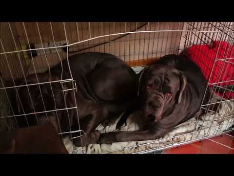 What are Neapolitan Mastiffs Like After A Walk
