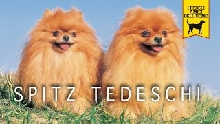SPITZ TEDESCO trailer documenary (Pomerania) Una sola razza in cinq...
