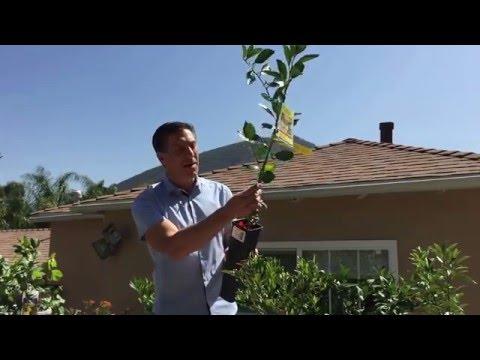 Standard, Semi-Dwarf & Dwarf Citrus Trees |Lemon Varieties |IV Organic Tree Guard Paint+ MORE