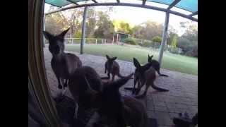 Bitten by an Australian western grey kangaroo