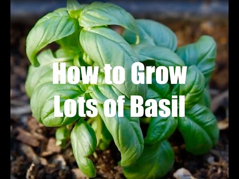 How To Grow Lots of Basil