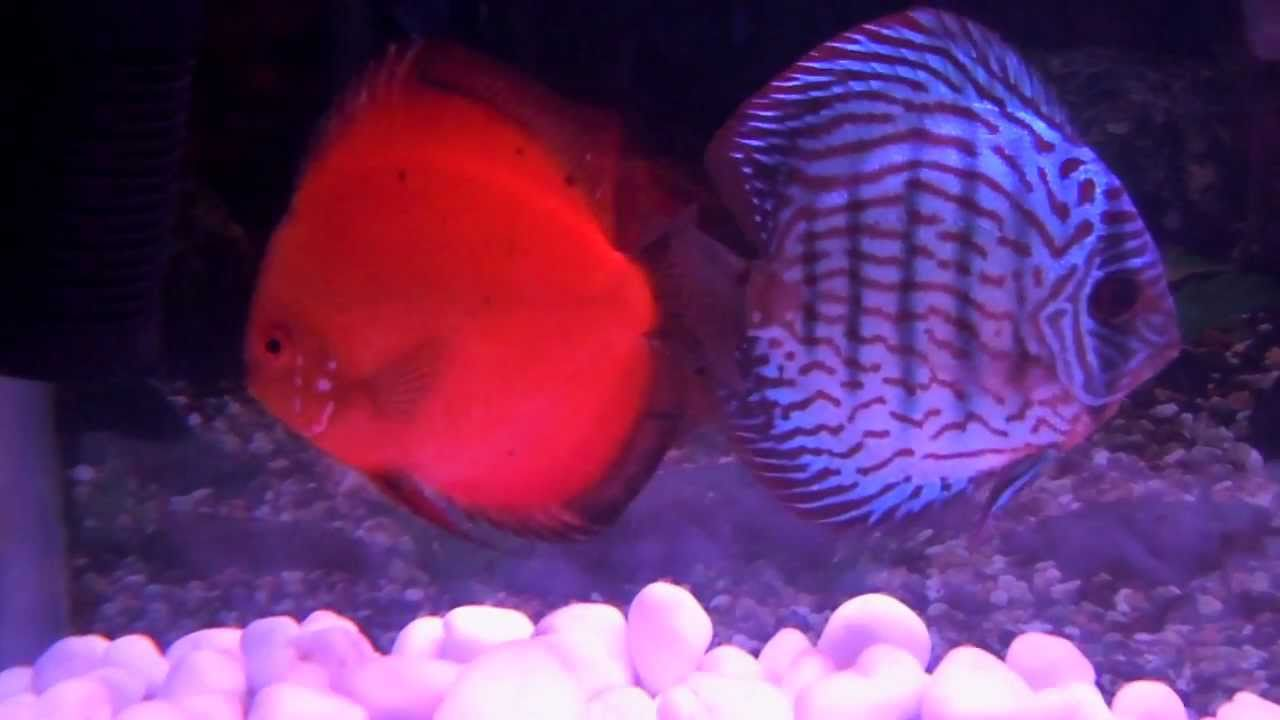 DISCUS FISH ( 5 DIFFERENT COLOURS ) - YouTube
