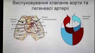 Анатомія серця