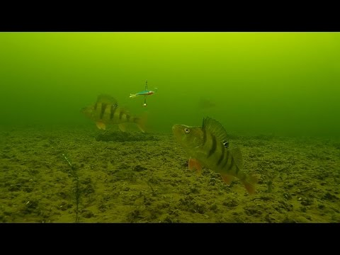 Ice fishing  - Perch. Underwater camera