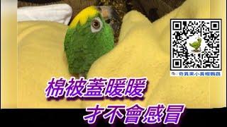 【小黃帽鸚鵡】我陪您溫暖過冬