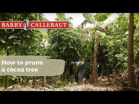 How to prune a cocoa tree – and why it matters