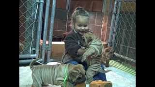 Shar Pei Puppies | Shar Pei Breeder Oregon Usa  | Tuck 'n Roll Acres