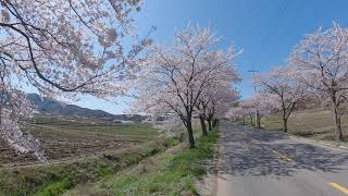 보령 주산 벚꽃길3