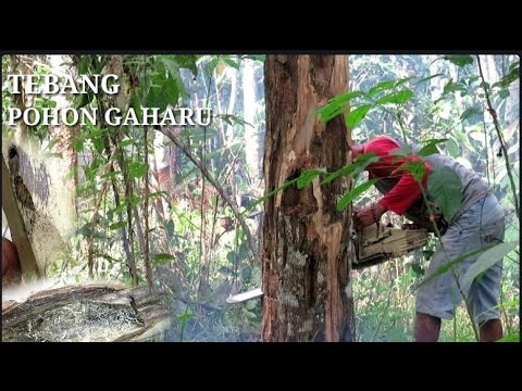 Proses Menebang Pohon Gaharu (pohon Duit)