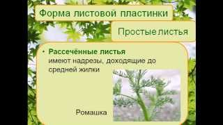 Строение листьев зеленых растений