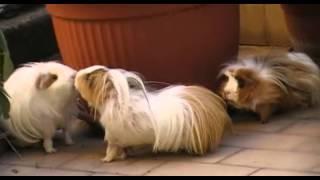 Guinea Pigs - Cavie
